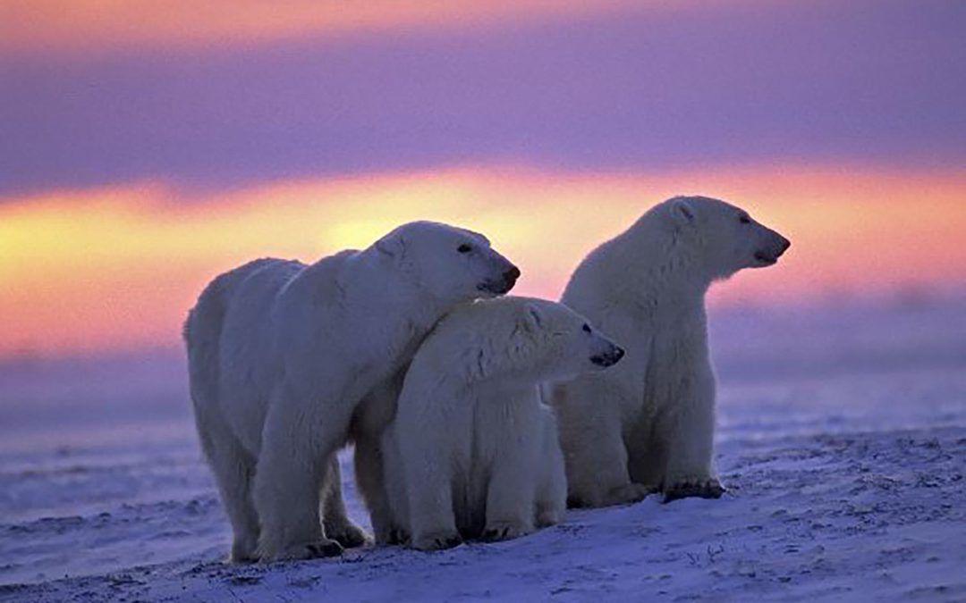 Descubrir el Oso Polar en Canadá