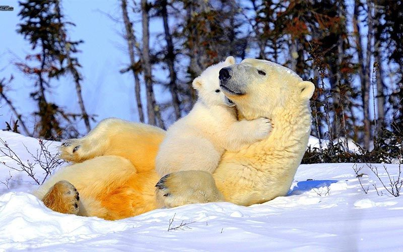 experiencias-next-destinium-11-osos-polares