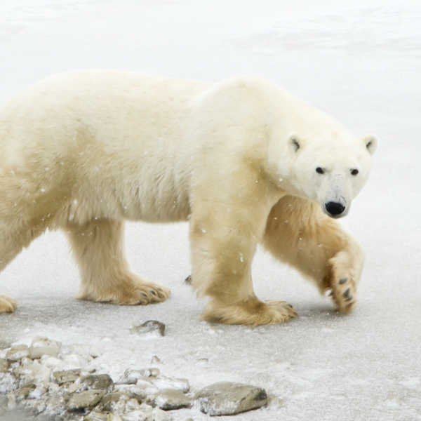 viaje a canada para ver osos polares