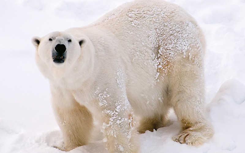 osos polares zoo de ranua