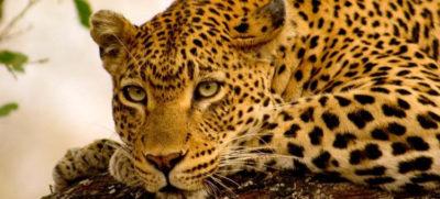 viajes sudafrica kruger leopardo