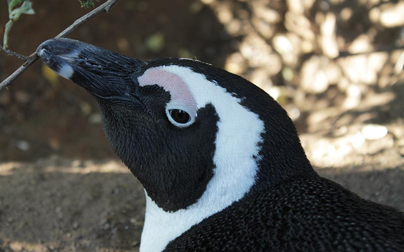 pinguinos-boulders-beach-sudafrica